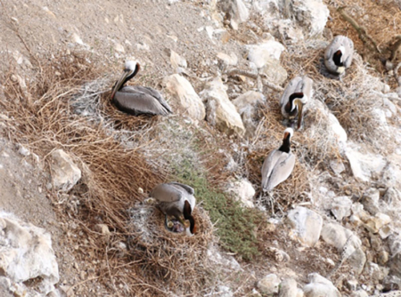 California brown pelicans nesting with newly hatched chicks